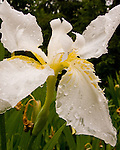 A white iris, wet by light morning rain.  © Rick Collier