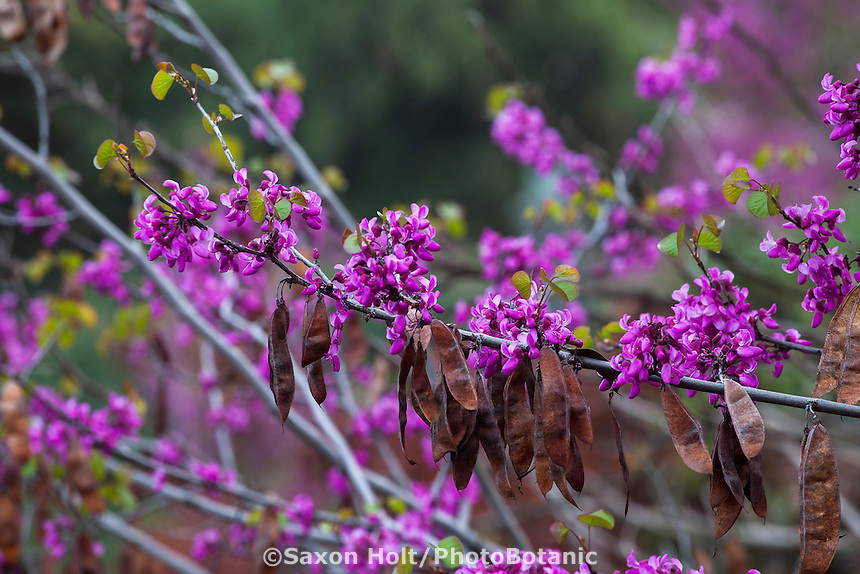 Cercis occidentalis 'Claremont' - California native Redbud tree with dried seed pods
