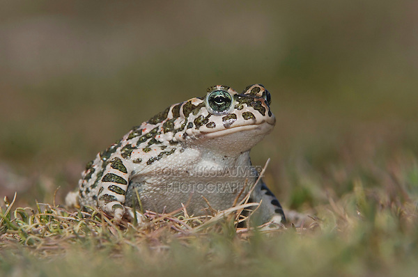 Green Toad, Bufo viridis, National Park Lake Neusiedl, Burgenland, Austria, April 2007