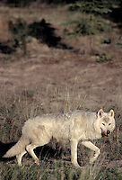 694922350 a wild lactating female gray wolf canis lupus explores her territory in a taiga forest near great slave lake in the northwest territories canada