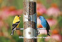 00585-03119 American Goldfinch (Carduelis tristis) male & Indigo Bunting (Paserina cyanea) male on nyjer thistle tube feeder by flowers IL
