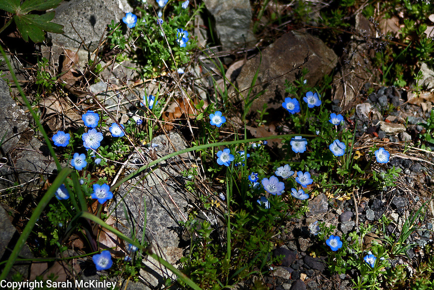 Several Baby Blue Eyes wildflowers growing among the rocks along Muir Mill Road in Willits in Mendocino County in Northern California.