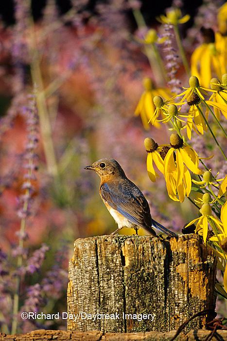 01377-07310 Eastern Bluebird (Sialia sialis) female on fence post in flower garden, Marion Co.  IL
