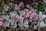 KALANCHOE PUMILA, FLOWER DUST PLANT