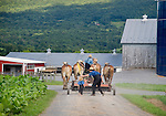Amish and work horse team returning to barn.