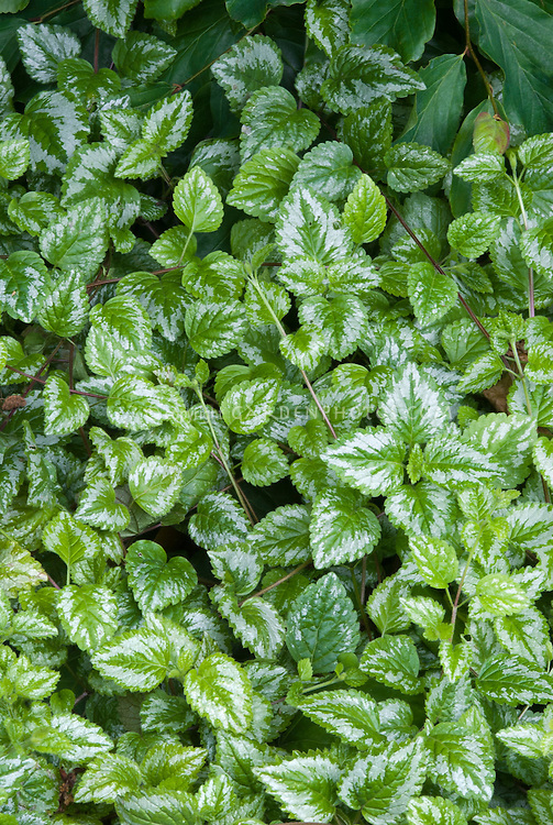 lamium galeobdolon  plant  flower stock photography, Natural flower