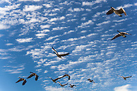 A group of geese in flight is a skein, and this skein of Canada geese is flying against a background of blue sky dappled with clouds.