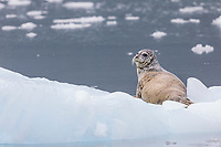 Harbor seal haulted out on floating icebergs from Meares glacier in Prince William Sound, Alaska.