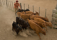 Argentina cowboys or gauchos during their work in a yerra, the seasson to vaccinate, castrate and mark cattle born durng the winter.