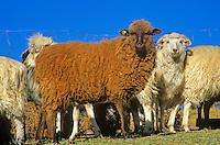Navajo-churro sheep of various colors in sheep corral at home of Jay and Helen Begay, Rocky Ridge, Navajo Nation, Arizona, AGPix-0627.