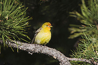 Western Tanager (Piranga ludoviciana), female, Rocky Mountain National Park, Colorado, USA