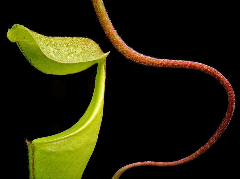 Pitcher plant close up.