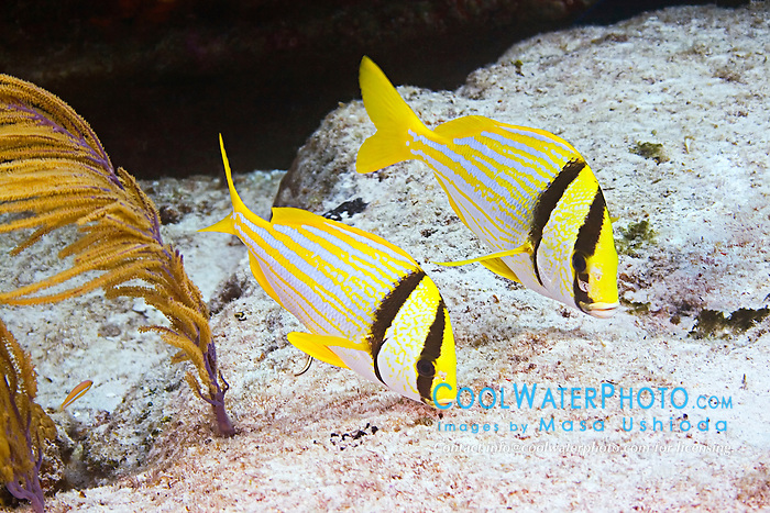 A pair of Porkfish, Anisotremus virginicus, feeding on algae, Sugar Wreck, West End, Grand Bahamas, Atlantic Ocean