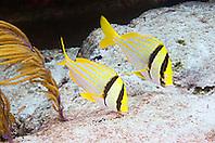 A pair of Porkfish, Anisotremus virginicus, feeding on algae, Sugar Wreck, West End, Grand Bahamas, Atlantic Ocean