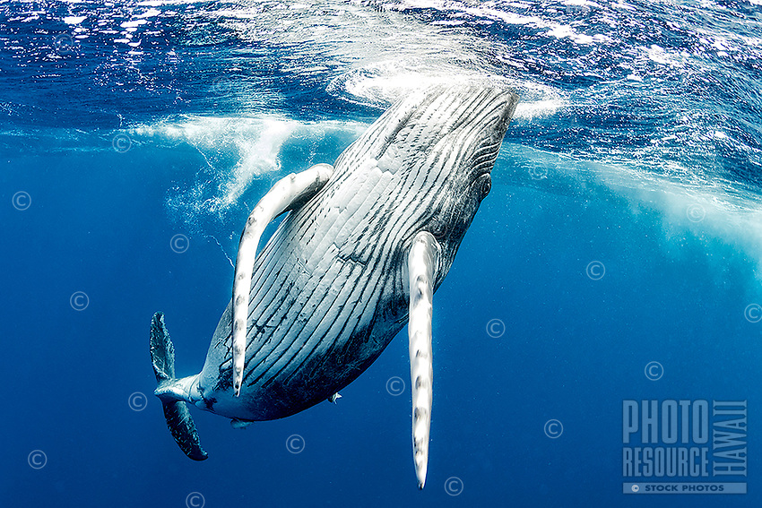 A playful humpback whale calf comes in for a closer look in the waters off of Tonga.