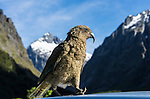 A Kea walking on the roof of our rental car at Monkey Creek, Fiordland NP, New Zealand. The kea is a large species of parrot found in forested and alpine regions of the South Island of New Zealand