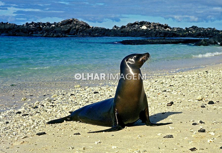 Lobo marinho no arquipélago de Galápagos. Equador. 1996. Foto de Juca Martins.