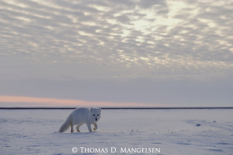 An arctic fox wanders alone across the tundra on an overcast day.