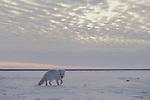 An arctic fox wanders alone across the tundra on an overcast day.