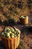 Usti nad Labem, Czech Republic. Large baskets of freshly harvested pears.