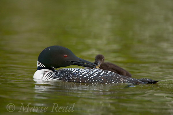 Common Loon (Gavia immer) adult feeds chick riding on its back (food= dragonfly nymph), Michigan, USA.