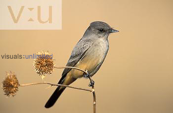 Say's Phoebe on dried sunflower