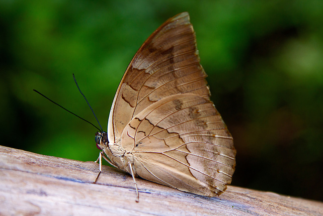 A one-spotted prepona sitting on a log displaying its left bluish eye and red probiscus and beautiful beige and brown underwing markings. A neotropical butterfly having a tan ventral appearance in total contrast to its black and blue dorsal one.