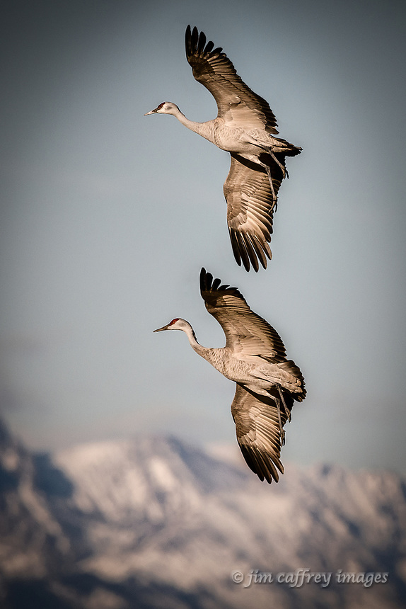 Two Sandhill Cranes in synchrous flight at the Monte Vista National Wildlife Refuge near Monte Vista, Colorado with the Sangre de Cristo Mountains in the distance.