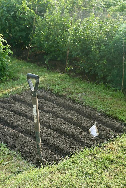 A freshly prepared seedbed on an allotment veg plot, early June.