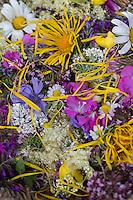 Blüten, Blumen, Kräuter, Kräuter sammeln, Ernte, Kräuterernte, Blütenblätter in einem Korb zum Trocknen, essbare Blüten. Echte Kamille, Matricaria recutita, Syn. Chamomilla recutita, Matricaria chamomilla, German Chamomile, wild chamomile, scented mayweed. Echter Alant, Helenenkraut, Inula helenium, Elecampane, Scabwort, Horse-heal, Marchalan. Echter Lavendel, Lavandula angustifolia, Lavender. Schafgarbe, Wiesen-Schafgarbe, Schafgabe, Achillea millefolium, Common Yarrow. Kartoffel-Rose, Kartoffelrose, Runzel-Rose, Runzelrose, Rose, Rosa rugosa, Japanese Rose. Echtes Mädesüß, Mädesüss, Filipendula ulmaria, Meadow Sweet, Quenn of the Meadow. Zottiges Weidenröschen, Rauhaariges Weidenröschen, Weiden-Röschen, Epilobium hirsutum, great willowherb, great hairy willowherb, hairy willowherb, Epilobe. Blutweiderich, Blut-Weiderich, Lythrum salicaria, Purple Loosestrife, Spiked Loosestrife, Salicaire. Königskerze, Verbascum spec., Mullein. Wegwarte, Zichorie, Cichorium intybus, Chicory. Oregano, Wilder Dost, Echter Dost, Gemeiner Dost, Origanum vulgare, Oregano, Oreganum, Wild Marjoram. Blossom, blossoms, flower, flowers, bloom, blooms, petal, petals.