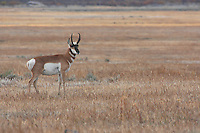 Pronghorn buck. Nice portrait with plenty room to move. It is crisp and would stand just a little more cropping.
