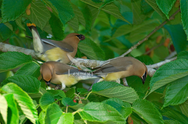 CEDAR WAXWING (Bombycilla cedrorum) feeding in mulberry tree.  Southern U.S., May.
