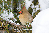 01530-21118 Northern Cardinal (Cardinalis cardinalis) female in spruce tree in winter, Marion Co., IL