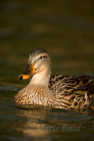 Mallard (Anas platyhynchos) female, close-up, Orange County < California, USA