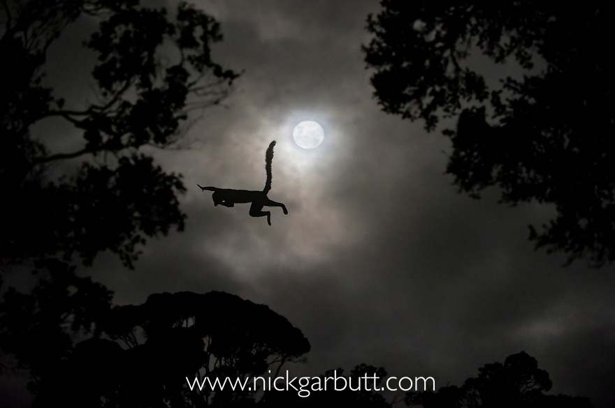 Red-fronted Brown Lemur (Eulemur rufus) leaping across gap in trees by moonlight. Cathemeral behaviour. Ranomafana National Park, south east Madagascar.