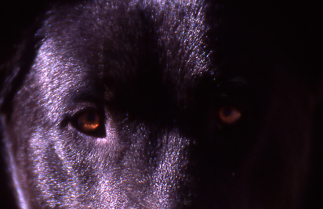 Black dog close up
