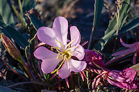 Desert evening-primrose is also known as rock-rose or butte primrose (Oenothera caespitosa) found in the dry grasslands of the Sagebrush steppe.  Montana,  June