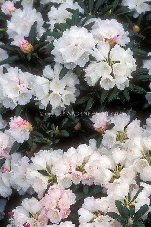 Rhododendron yakushimanum 'Koichiro Wada' flowers AGM