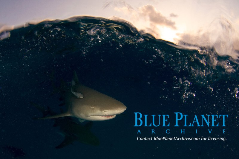 Lemon sharks, Negaprion brevirostris, split view at dusk, remoras; Bahamas, Caribbean Sea, Atlantic Ocean