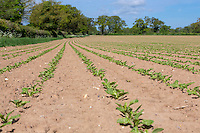 Sugar beet plants - Norfolk, May