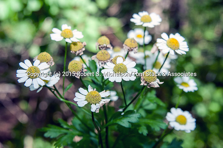 Feverfew.  This herb was used by 17th Century europeans who settled on the New World of New England to make medicine.  A syrup was used as a cure for fever.