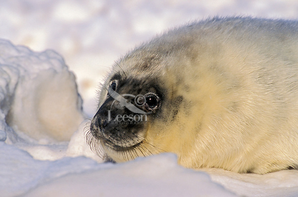 GRAY SEAL - one week-old pup. Pups are fed and protected by the cows for the first two weeks before they are left to fend for themselves on the birthing ice floes or secluded beaches..Northumberland Strait, Nova Scotia. Canada..(Halichoerus grypus).