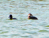 Female black scoter with lesser scaup
