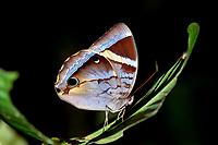 Butterfly, Thaumantis klugius, on leaf, Night walk in rainforest, Sepilok National Park, Sandakan, Sabah, Northeastern Borneo, Malaysia