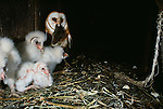 Mother barn owl with mouse in beak.