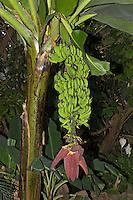 Ess-Banane, Kultur-Banane, Banane, Musa x paradisiaca, Früchte und Blüte, Edible Banana