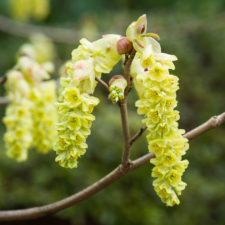 Corylopsis glabrescens var. gotoana, mid March. Commonly known as fragrant winter hazel, a deciduous flowering shrub originally from Japan. It features drooping clusters (hairless racemes to 1.5in long) of fragrant pale yellow flowers in late winter to early spring before the foliage emerges.
