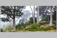 Foggy view of The Mediterranean Garden on Heidelberg Hill with Cypress trees; San Francisco Botanical Garden