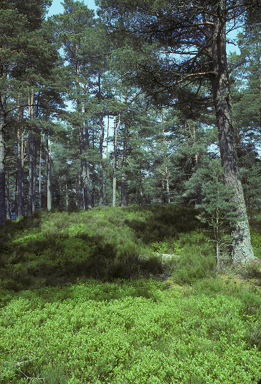 Abernethy Forest, Scotland, UK