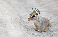 We found this male dik dik resting in the middle of a dusty road in Ndutu.